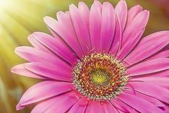 Hete Roze Gerber Daisy Close-up royalty-vrije stock foto's