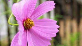 Hete Roze Kosmos die in The Sun zonnebaden Stock Afbeeldingen