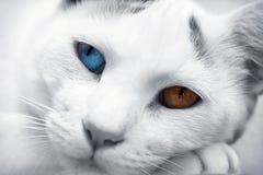 Heterochromia. A close up shot of my cat Vesper Royalty Free Stock Photo