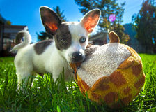 Heterochromic Chihuahua Stock Images
