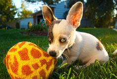 Heterochromic Chihuahua Royalty Free Stock Photography