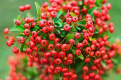Heteromeles arbutifolia or Toyon red berries. On green foliage blurred background in the garden Royalty Free Stock Image