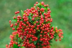 Heteromeles arbutifolia or Toyon red berries. Heteromeles arbutifolia or Toyon  red berries on green foliage blurred background in the garden Royalty Free Stock Photo