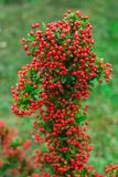 Heteromeles arbutifolia or Toyon red berries. Heteromeles arbutifolia or Toyon  red berries on green foliage blurred background in the garden Royalty Free Stock Photography
