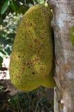 Heterophyllus плодоовощ или Artocarpus Джека Стоковая Фотография RF