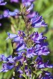 ` ` Heterophyllus Penstemon небесное голубое Стоковые Фотографии RF