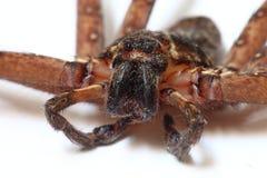 Heteropoda venatoria spider Royalty Free Stock Image
