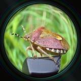 Heteropter bug in objective lens Stock Photos
