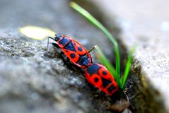 Heteroptera Royalty Free Stock Images