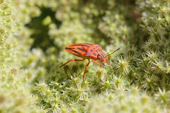 Heteroptera Stockfotos