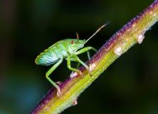 Heteroptera Стоковое Изображение RF