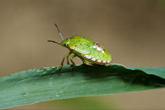 Heteroptera  palomena Stock Image