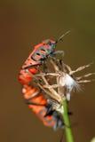 Heteroptera que copulating Imagem de Stock