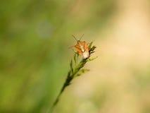 Heteroptera Royalty Free Stock Photography