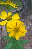 Yellow Camphorweed Flower. Heterotheca Subaxillaris, commonly called Camphorweed, a member of the Aster family. Yellow, daisy like flower heads on hairy stems. A Royalty Free Stock Photos