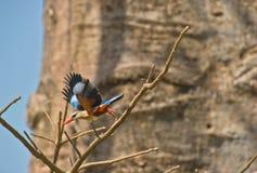 Hetgeleide opstijgen van de Ijsvogel. royalty-vrije stock fotografie