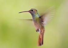 Hetgelogenstrafte kolibrie hangen Royalty-vrije Stock Foto's