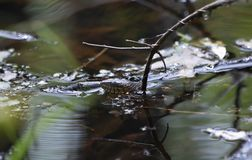 Hetgestreepte Waterslang Zwemmen Stock Foto's