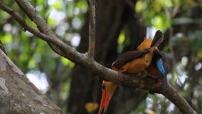 Hetgevleugelde Ijsvogel koppelen stock footage