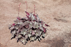 Heuchera. The genus Heuchera - perennial herbaceous plant family saxifragaceae Stock Photography