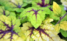 Heuchera Stock Image