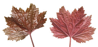 Heuchera Stock Photography