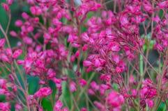 Heuchera blooming Stock Photo