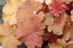 Heuchera Royalty Free Stock Images