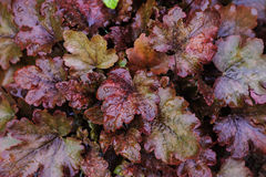 Heuchera `Chocolate Ruffles` closeup in summer garden Stock Image