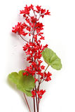 Heuchera coral bell flowers Royalty Free Stock Photos