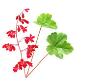 Heuchera coral bells Royalty Free Stock Photography