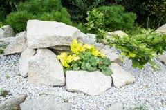 Heuchera del jardín de rocalla Fotografía de archivo libre de regalías