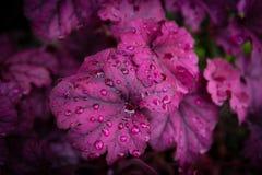 Heuchera dopo pioggia Fotografia Stock