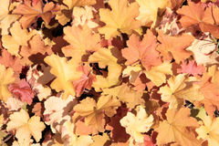 Heuchera Royalty Free Stock Photos