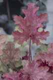 Heuchera - Imbirowa brzoskwinia Obrazy Royalty Free