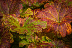 Heuchera leaves In Autumn Stock Photos