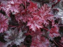 Heuchera met rode bladeren en dalingen van water Royalty-vrije Stock Foto