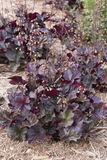 Heuchera - Obsidian Stock Photo