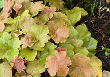 Heuchera plant Royalty Free Stock Photography