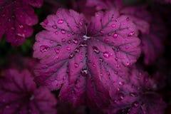 Heuchera after rain Royalty Free Stock Photos