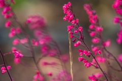 Heuchera rosa fotografia stock