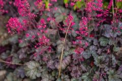 Heuchera rosa fotografie stock