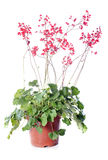 Heuchera sanguinea Royalty Free Stock Photo