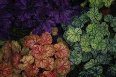 Heuchera, Saxifragaceae Στοκ Εικόνα