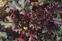 Heuchera `Stormy Seas` closeup. In summer garden royalty free stock image