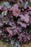 Heuchera `Stormy Seas` closeup in summer garden. Royalty Free Stock Photography