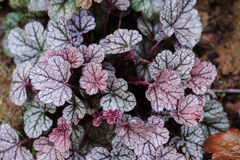 Heuchera `Sugar Frosting` closeup in summer garden. Stock Photos