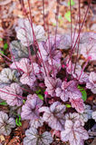 Heuchera Sugar Frosting in summer Royalty Free Stock Photos