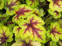 Heucherella `Stoplight`. Foamy bells closeup royalty free stock images