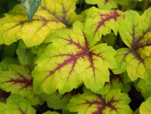 Heucherella `Stoplight`. Foamy bells closeup stock images